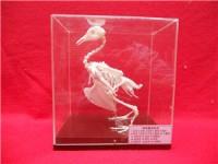 动物骨骼标本制作