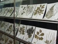 植物蜡叶标本
