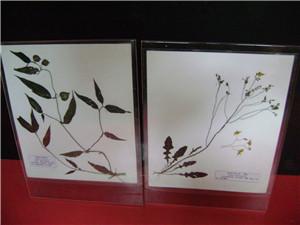 有机玻璃夹板植物腹膜