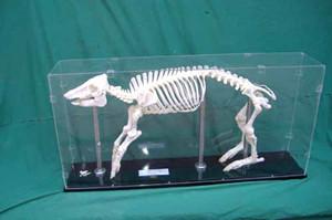 教学骨骼标本
