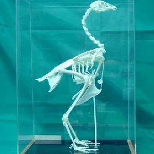 禽类骨骼标本