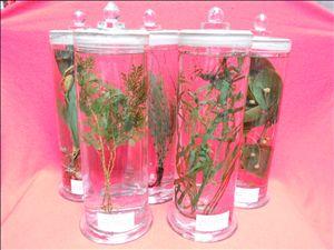 植物显微玻片标本