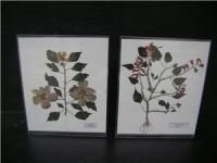 树立式植物原色腹膜标本