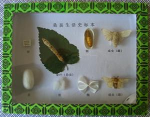 昆虫生活史标本