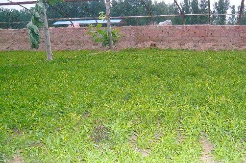 五色草苗种