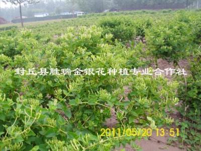 金銀花種植