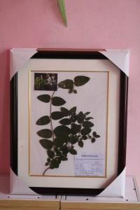 植物保色腊叶标本 金银花