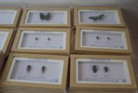 昆蟲幹制标本