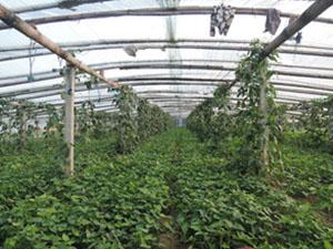 新乡红薯苗