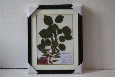 中药腊叶标本-紫荆