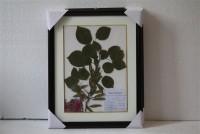 植物腊叶标本紫荆