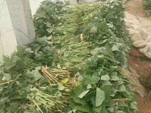脱毒高产红薯苗