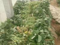 河南红薯苗