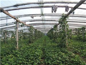 红薯苗厂家