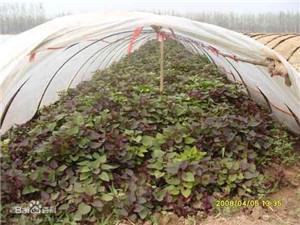 红薯苗基地