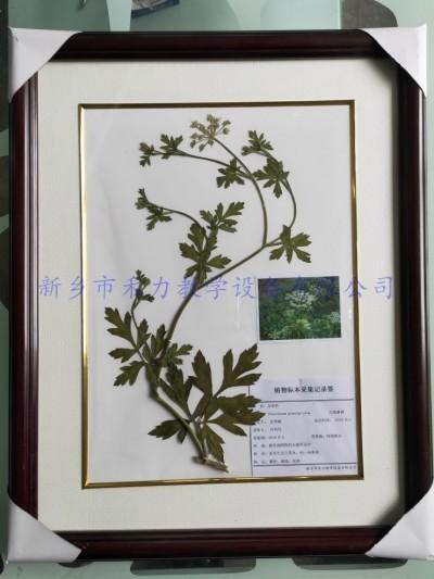 药用植物标本  白花前胡标本