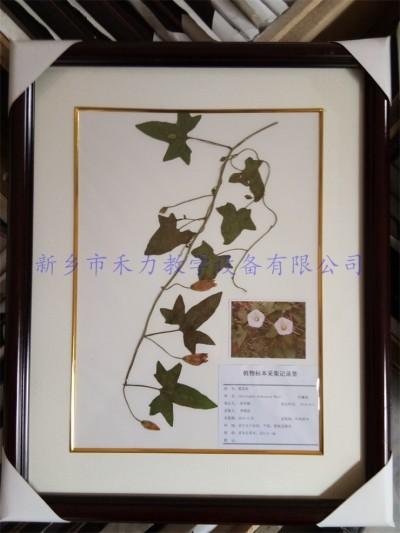 杂草标本  植物标本  打碗花