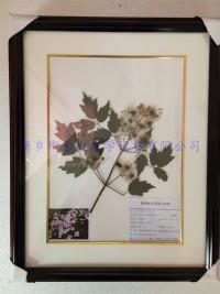 药用植物标本  铁线莲标本展示