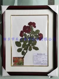 植物腊叶标本-月季