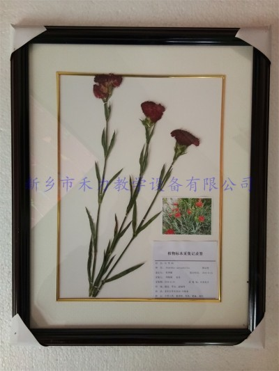 花卉标本  植物标本  香石竹标本
