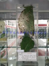 白菜黑斑病保色浸制标本植物病害浸泡标本