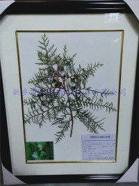 植物中药标本  侧柏实物标本