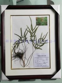 中药腊叶标本   凤尾草