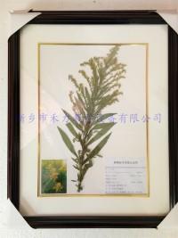 植物标本 一枝黄花标本