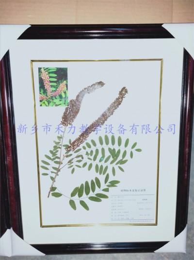 植物标本   园林标本 紫穗槐标本