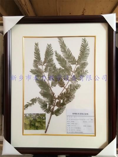 植物标本  水杉