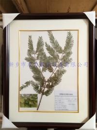 植物标本-水杉标本