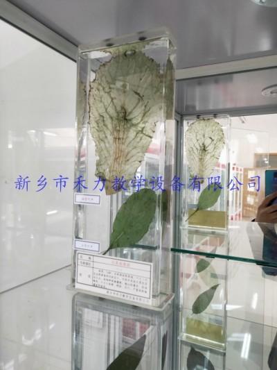 白菜病毒病瓶装浸制标本