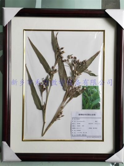 农作物腊叶标本  薏米  薏苡仁