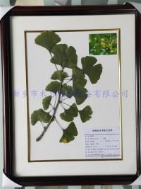 植物标本  中药标本   银杏干制标本