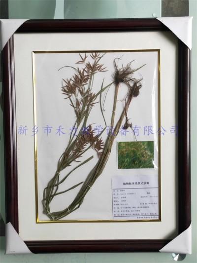 植物腊叶标本  莎草    中药标本   香附