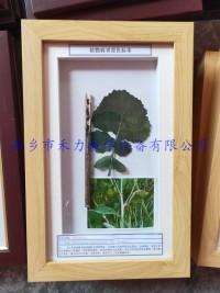 植物病害标本油菜菌核病盒装标本