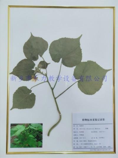 药用植物标本   苘麻干制标本实木框