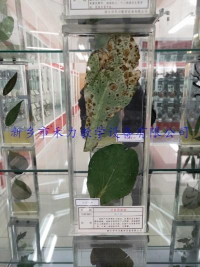 蔬菜病害展示教学标本甘蓝黑斑病保色浸泡标本