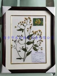 植物标本实木框装