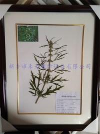 中药标本-益母草标本