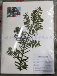 植物腊叶标本   南方红豆杉