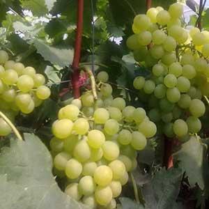 葡萄的营养成分