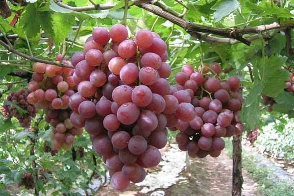南张门葡萄的营养价值