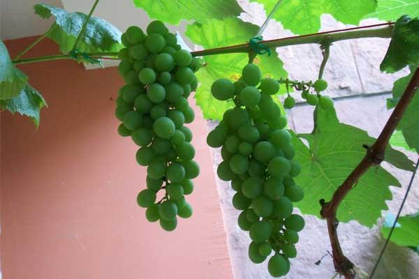 庭院种植葡萄的要求
