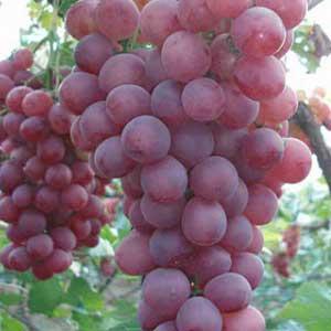 新乡巨峰葡萄