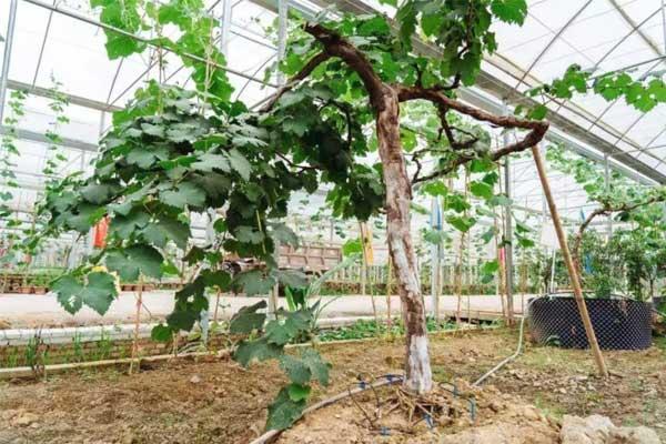 葡萄树的日常管理