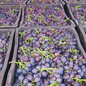 哪些人不适合吃葡萄