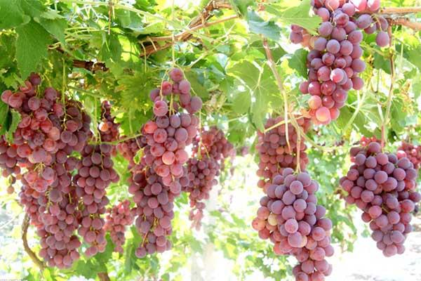 葡萄的营养