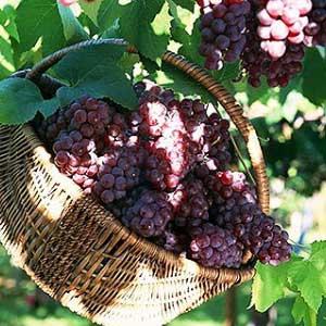 葡萄皮和葡萄籽有什么功效