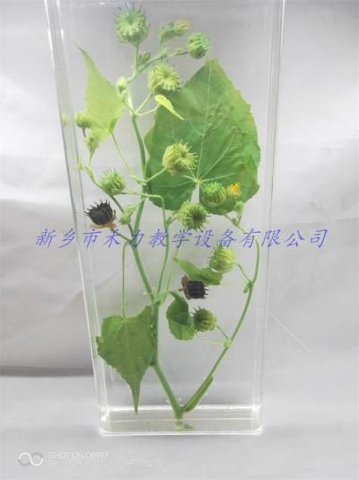 苘麻保色浸制标本植物标本